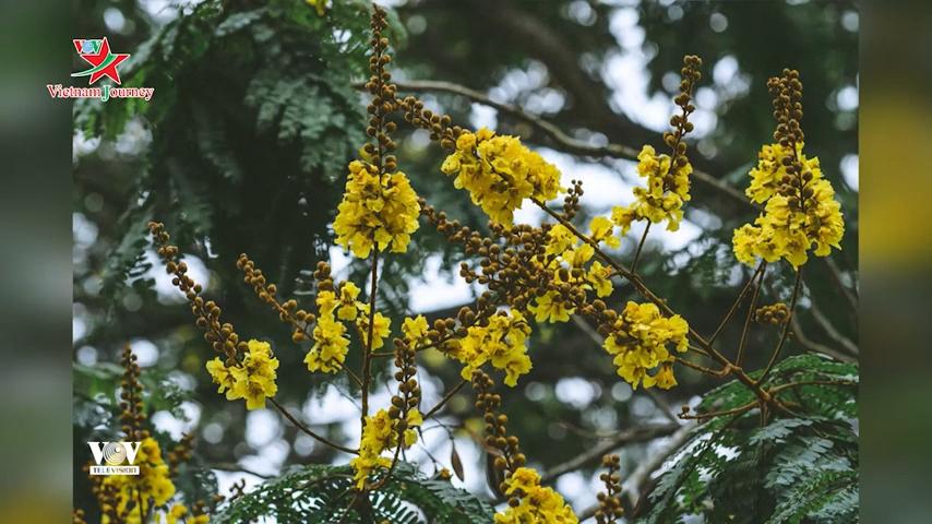 Hoàng điệp vàng rực tháng 4 tô điểm vẻ duyên dáng cho xứ Huế