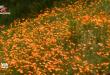 Những đồi hoa poppy nở vàng rực rỡ khoe sắc bất chấp dịch Covid-19